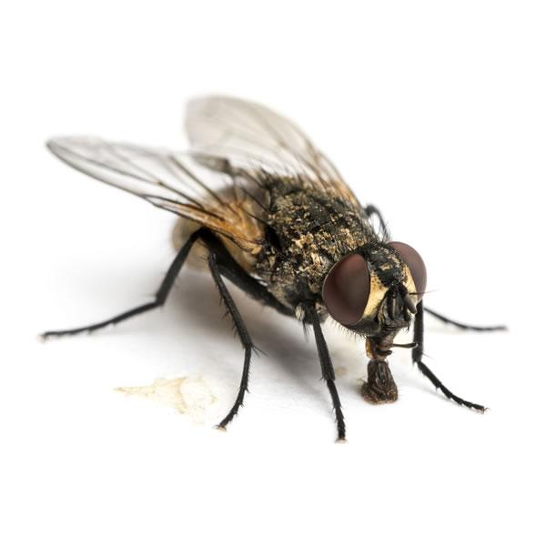 Fliegenplage