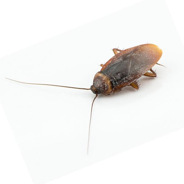 Kakerlakenplage