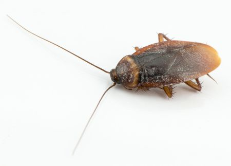 Close up cockroach isolated on white