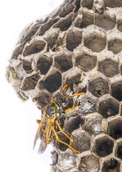 a wasp nest (Vespula vulgaris)