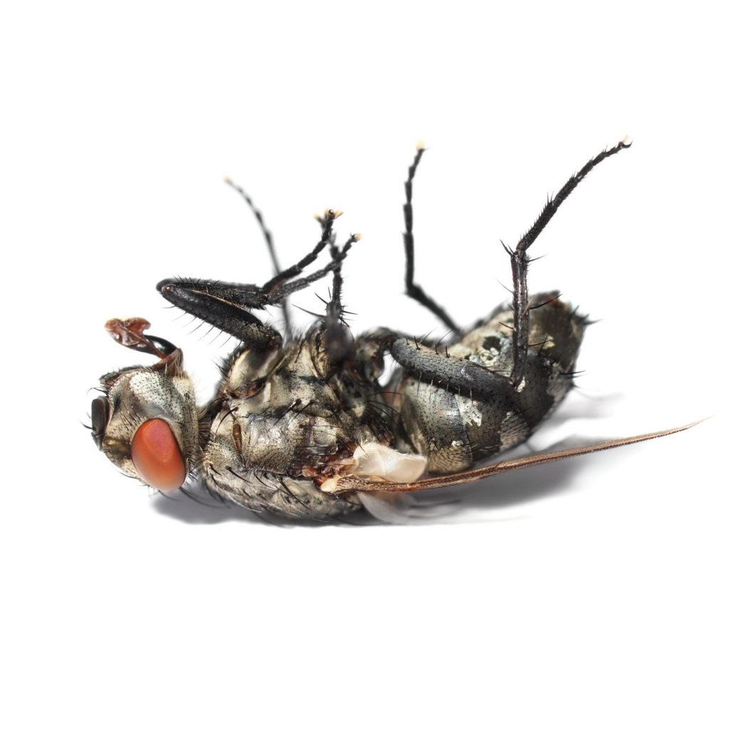 Schaedling Fliege