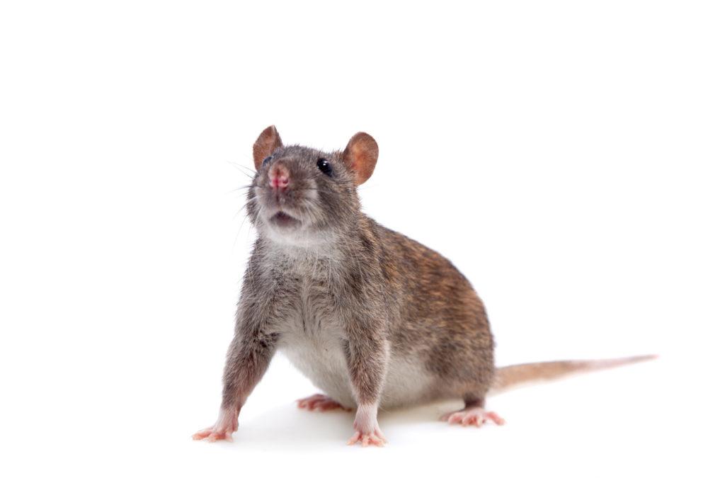 Ratten bekämpfen